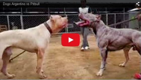 TOPVIDEO: Dogo Argentino vs Pitbull
