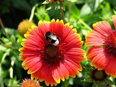 bunga kembang goyang