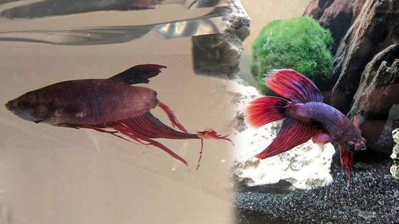 Betta Fish Care Fin Rot