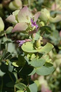 Origanum rotundifolium 'Kent Beauty'