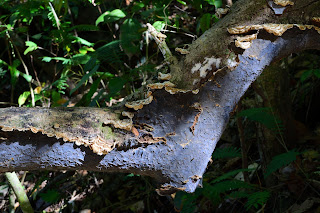 fungus growing in Puriscal