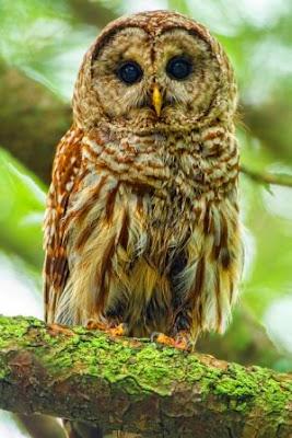 Jungle owl image