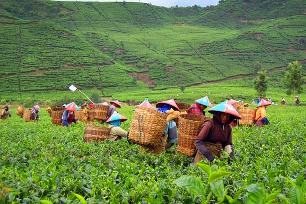 Para pemetik teh di Perkebunan Teh Malabar, Bandung