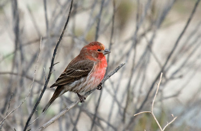 San Diego, California Backyard bird: House Finch