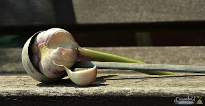 Just Planted A Garlic Clove That Was Sprouting