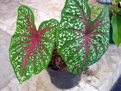 daun keladi red star tanaman hias indah keren