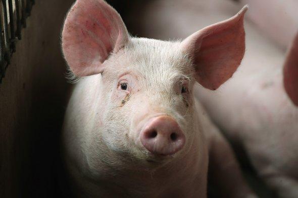 Image result for इस वजह से मुस्लिम लोग सूअर से करते है नफरत
