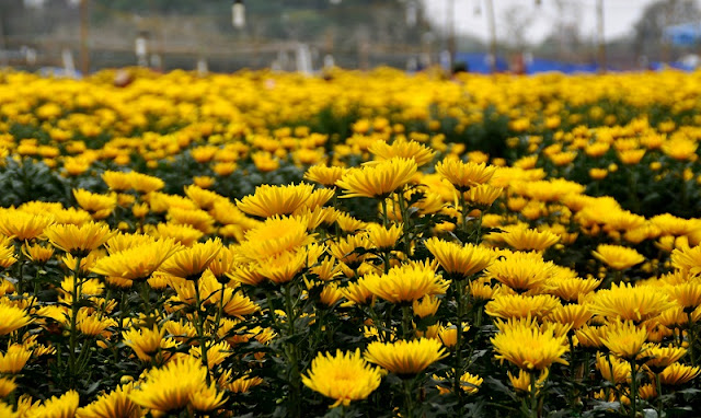 Top 7 kinds of flower for Tet holiday in Hoi An 3