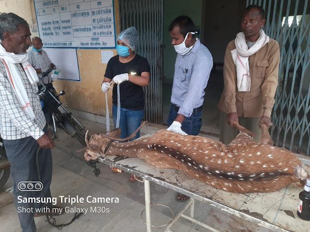 Barasingha Hiran, animal deer, medicine of deer in Singrauli mada area, Updated24 news