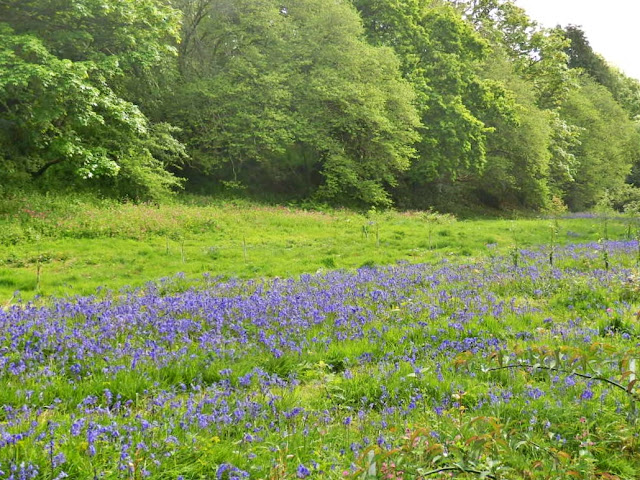 Field of Bluebells, Cornwall