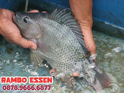 Rambo Essen Ikan Nila Kilo Gebrus