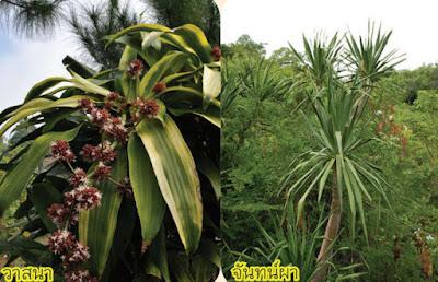 ต้นวาสนา ต้นจันทน์ผา (Dracaena) Asparagaceae
