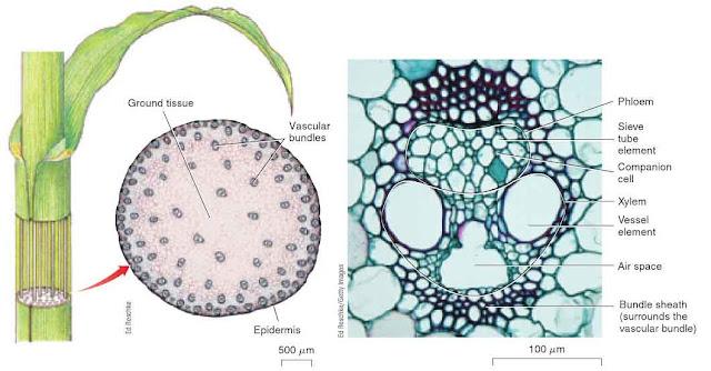 vascular plengdut bundle