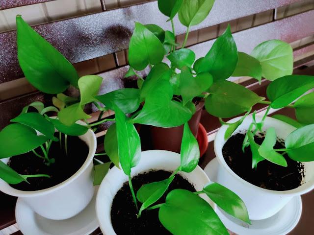 Epiprenium Aureum / Pothos