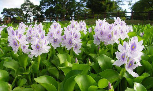 Tinuku Eichhornia crassipes, Weed Destroyer Drainage Goes Into Beautiful Fashion