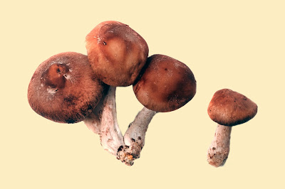 Mushroom supply online