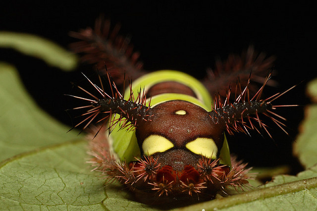 stinging+caterpillar+2.jpg
