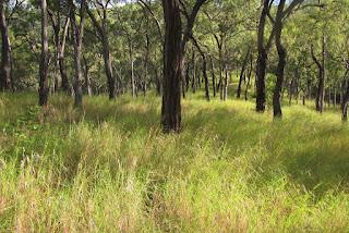 Ironbark woodland