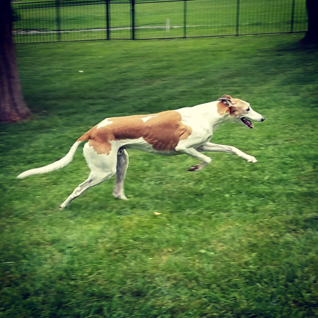 image of Dudley the Greyhound running in the yard
