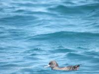 Sooty shearwater – off Kaikoura Peninsula, NZ – © Denise Motard