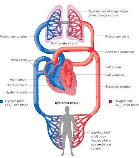 Blood circulation through heart