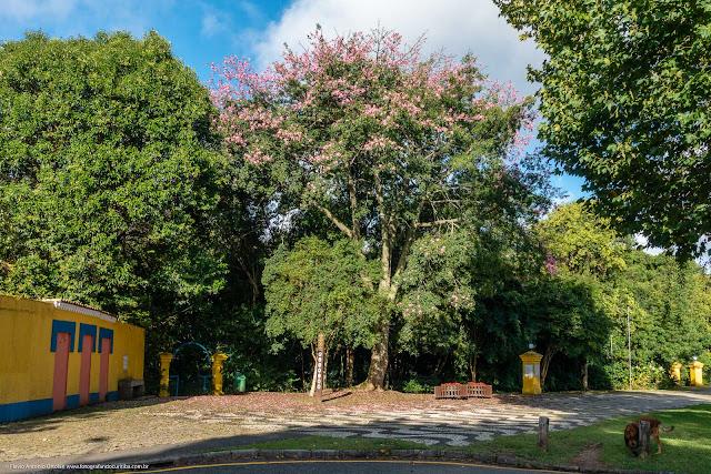 Paineira no Bosque Portugal, Curitiba