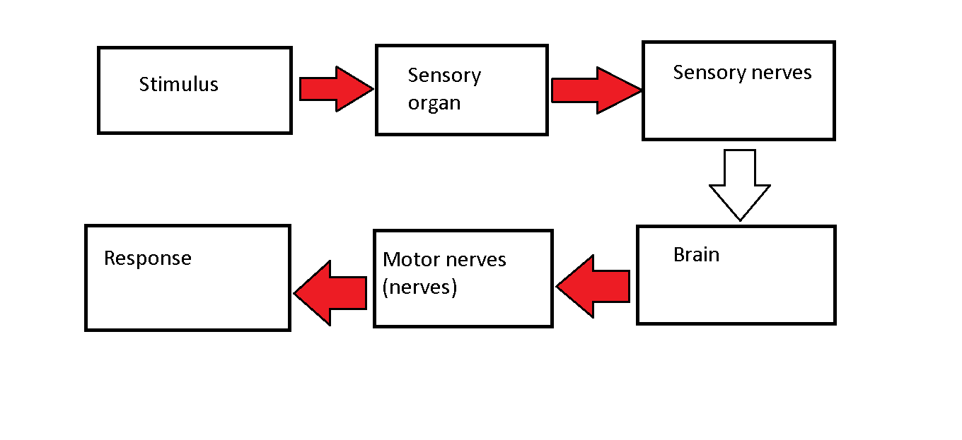hight resolution of nerve impulses pathway from stimulus to response