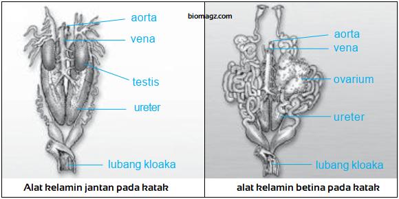 Gambar organ reproduksi katak