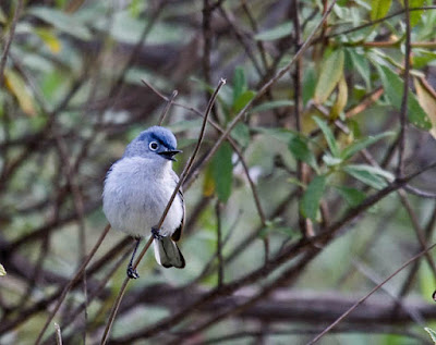 Photo of Blue-gray Gnatcatcher