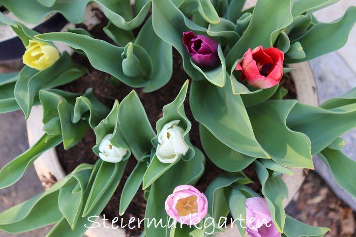niedrige-Tulpen-Steiermarkgarten