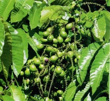 Budidaya Pohon Matoa