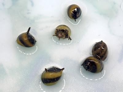 蜜蜂角螺,天珠角螺