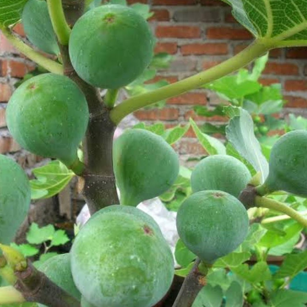 bibit buah tin green yordan Tebingtinggi