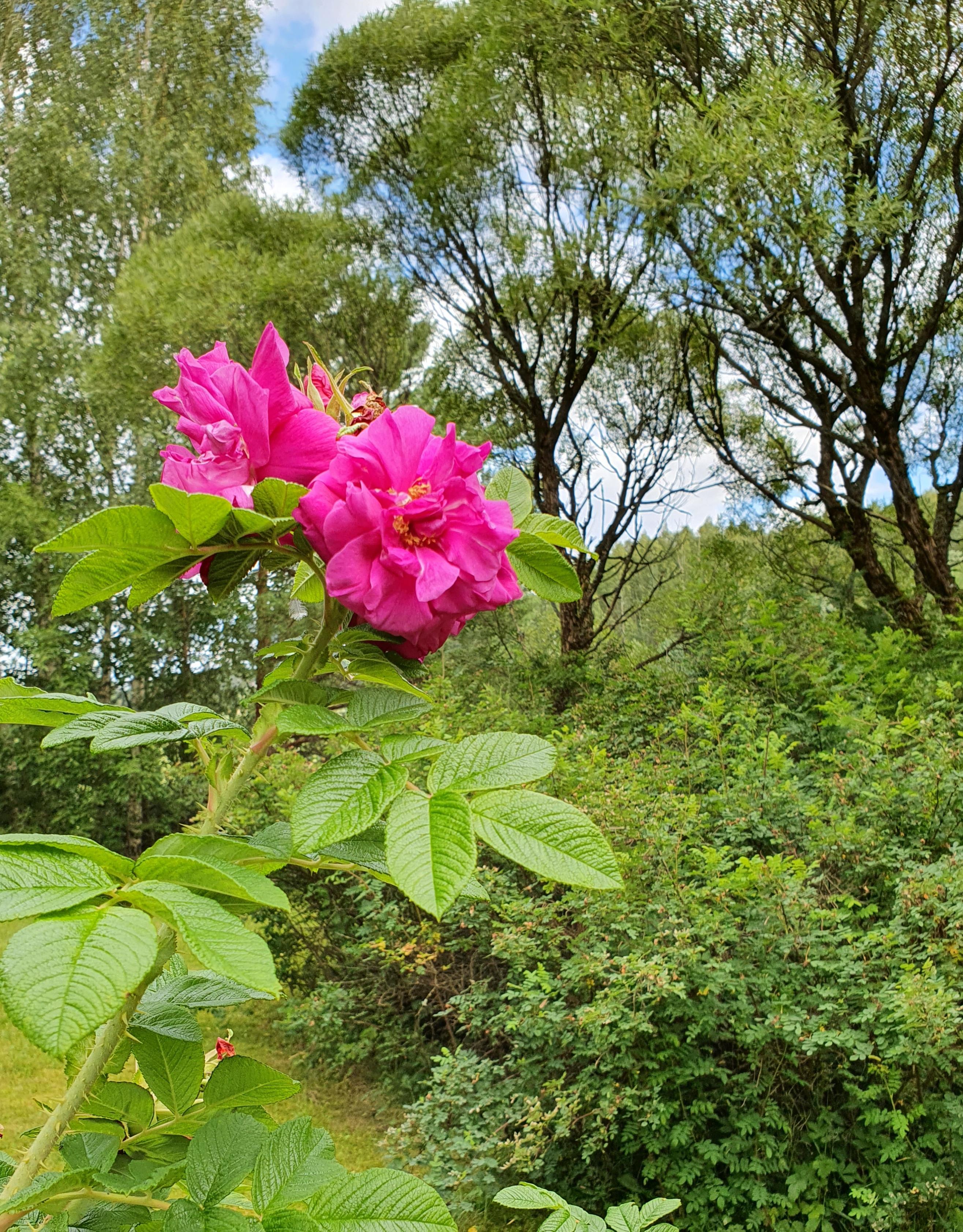 pinkkejä ruusuja pensaassa