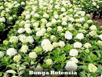 BUNGA ROTENSIA | POHON HORTENSIA | TANAMAN HIAS