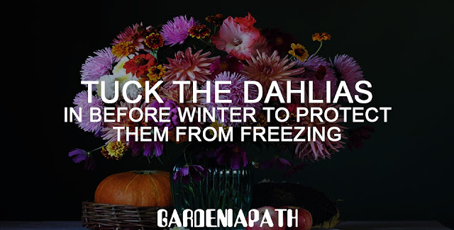 Tuck the dahlias in before winter to protect them from freezing