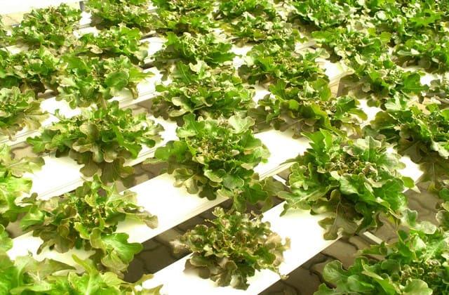 menanam tanaman secara hidroponik banyak keuntungan
