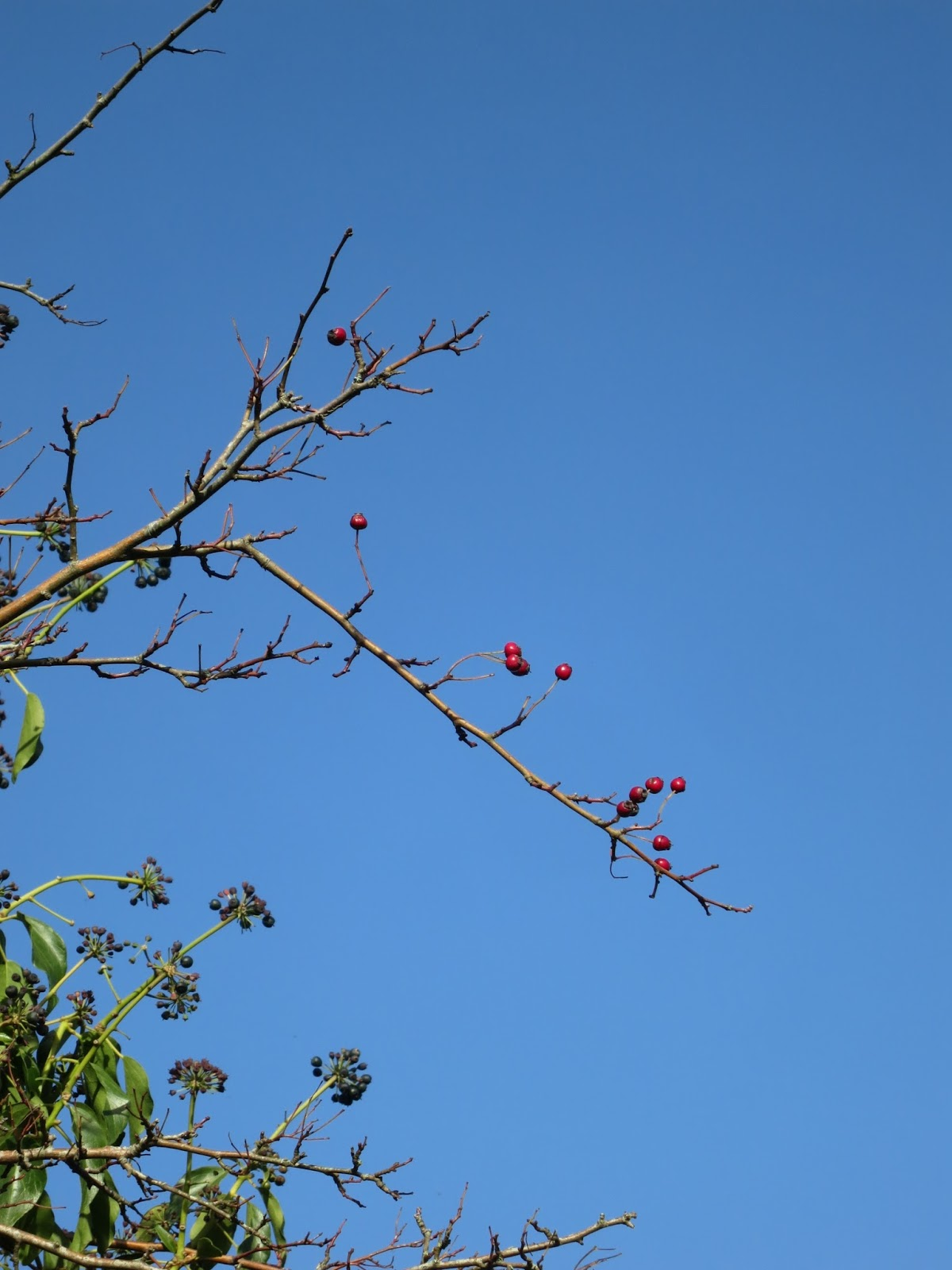 Haws and ivy berries against blue sky.