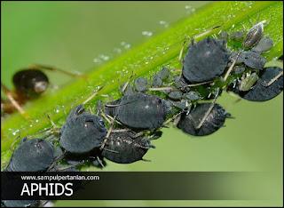 3 Golongan jenis Hama Serangga dilihat dari gejala yang ditimbulkan
