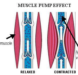 varizes bomba muscular panturilha válvulas veias
