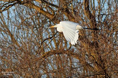 Nagy kócsag (Egretta alba)