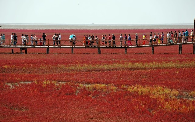 The red beach attracts visitors in autumn