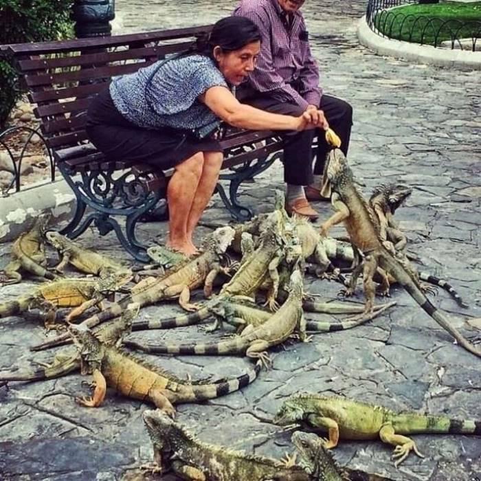 cuador, iguanas live in cities.