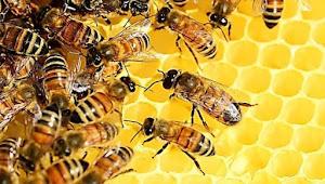 Maklumat Menarik Tentang Lebah