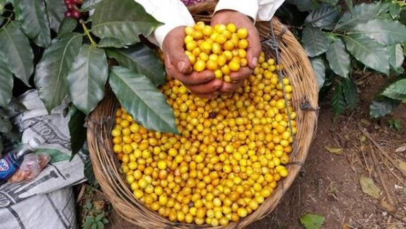 Benih Kopi Yellow Caturra 1 KG Jawa Barat
