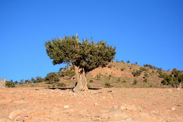 Juniperus thurifera