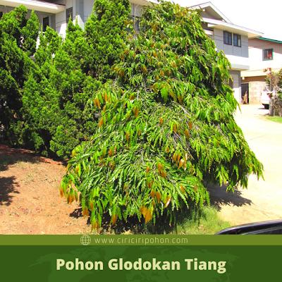 Pohon Glodokan Tiang