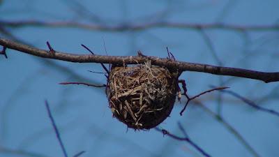 Red eyed vireo nest - photo#32
