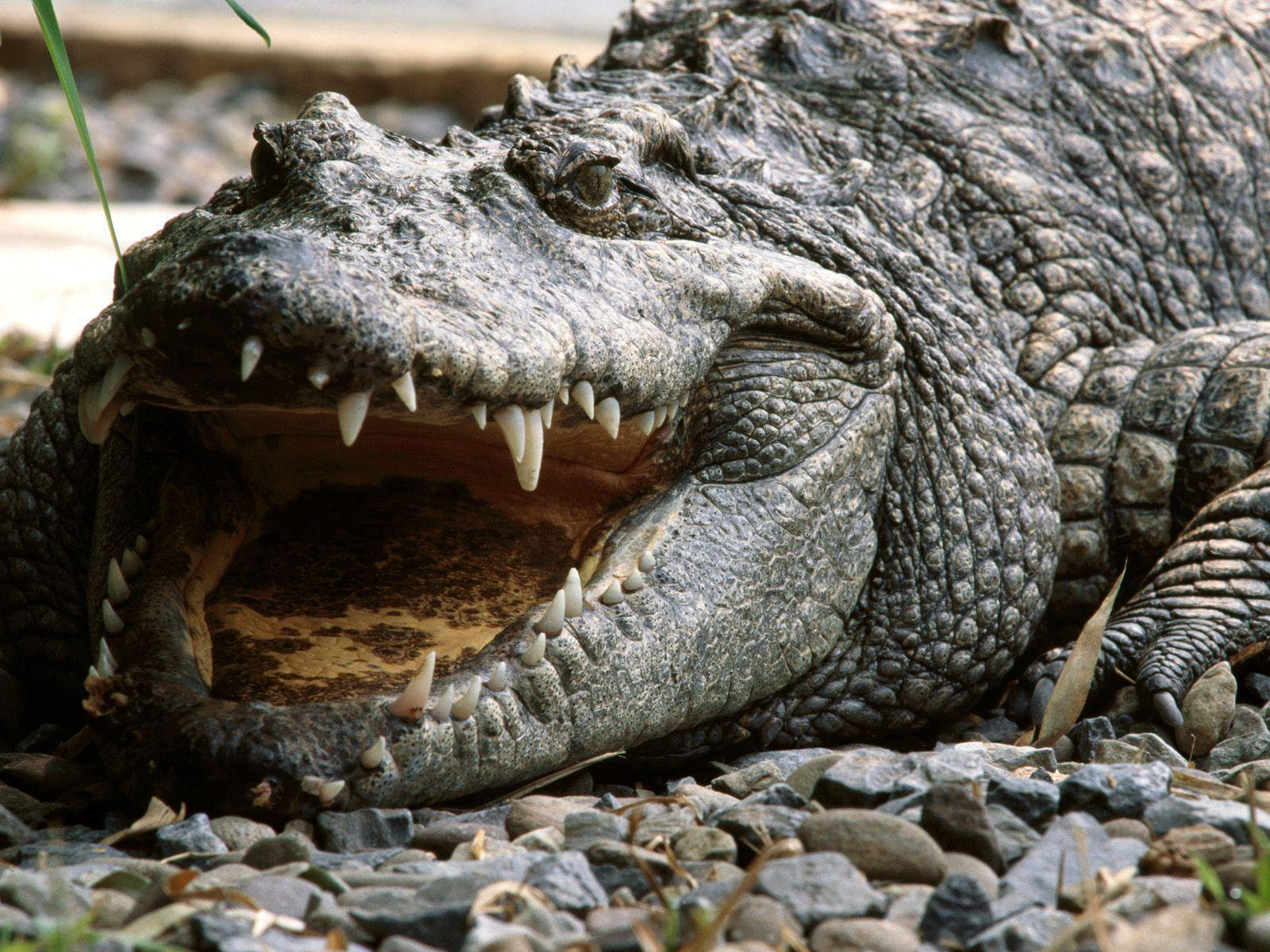 Alligator Wallpapers Full Hd Wallpapers Animal Picture