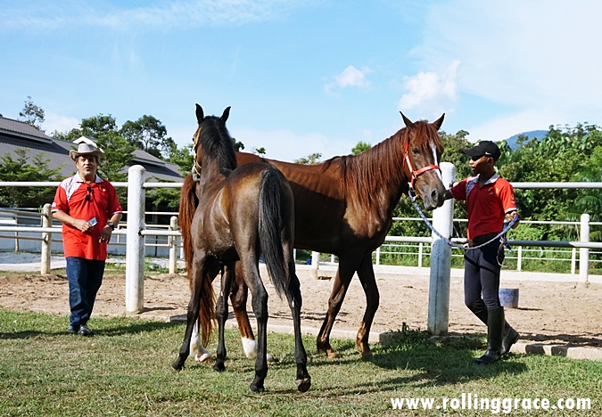 Ultimate Horse Training & Stud Farm at Yan, Kedah